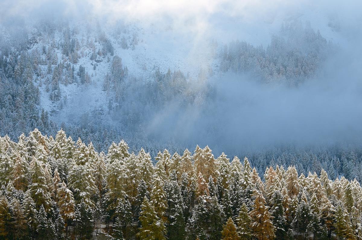 Larici con neve 01